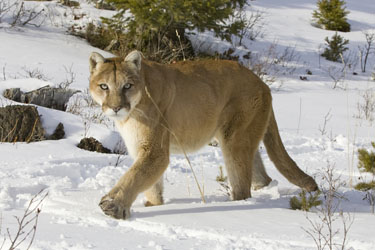 Thickwood Cougar Still At Large Mymcmurray
